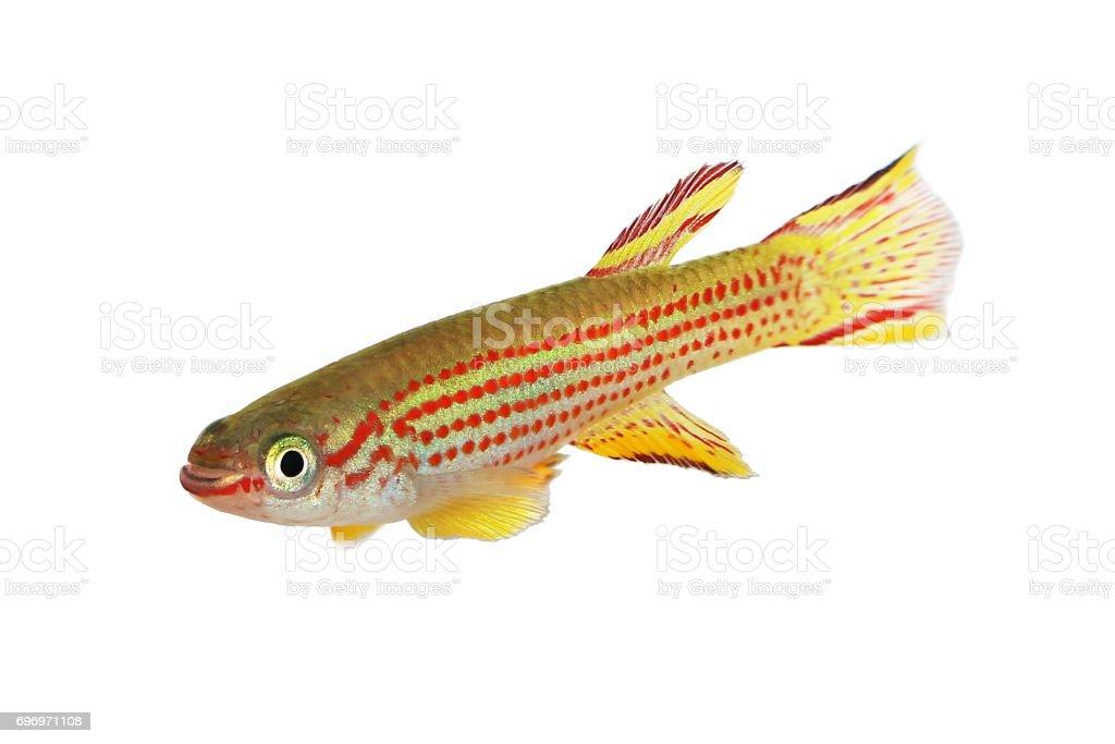 Red-Striped Killifish Male Aphyosemion striatum tropical aquarium fish stock photo