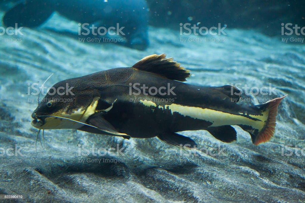 Redtail catfish (Phractocephalus hemioliopterus). stock photo
