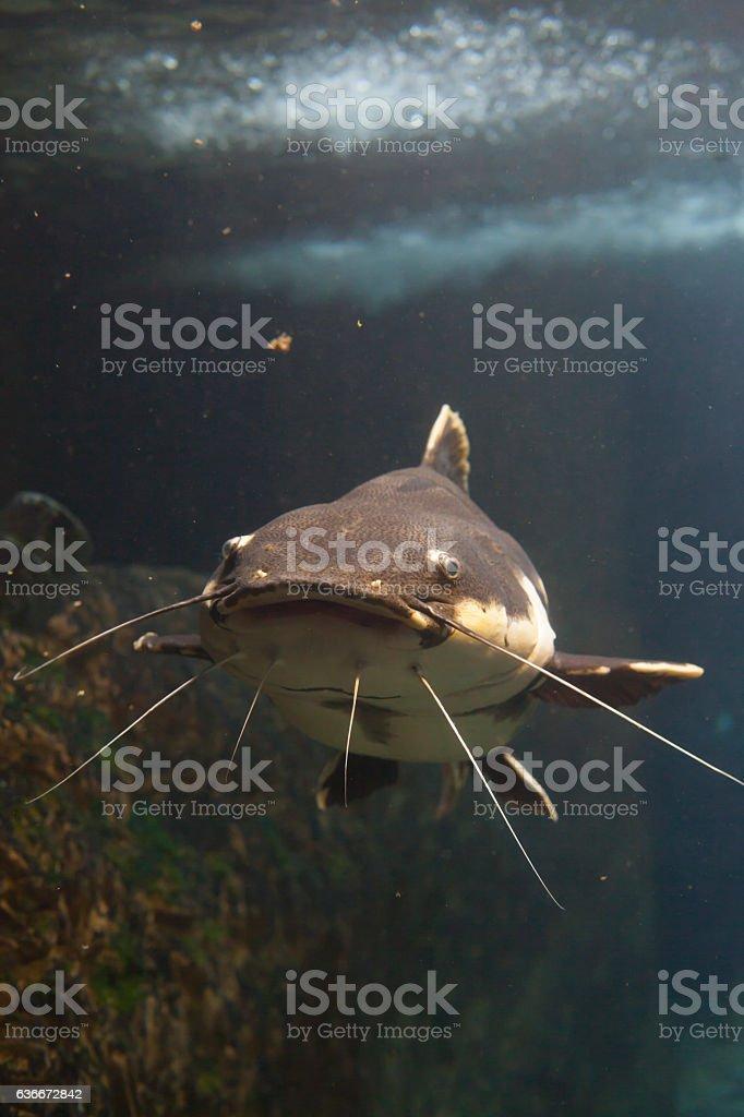 Redtail Catfish stock photo
