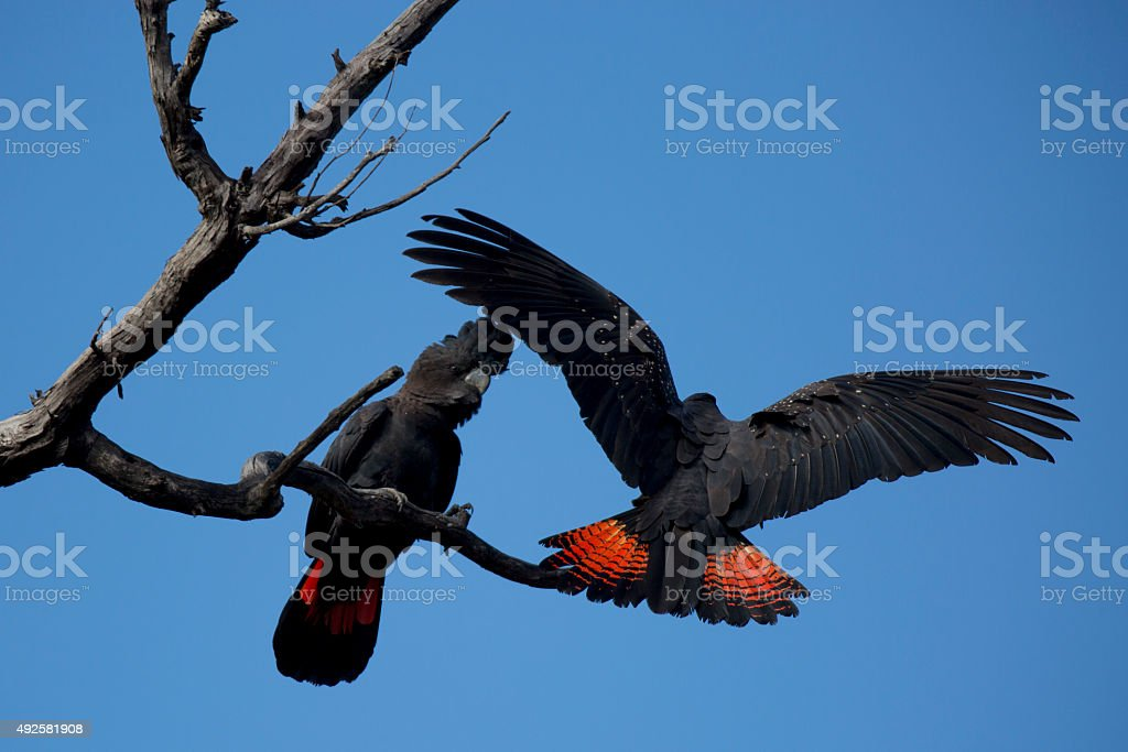 Red-tailed Black Cockatoos stock photo