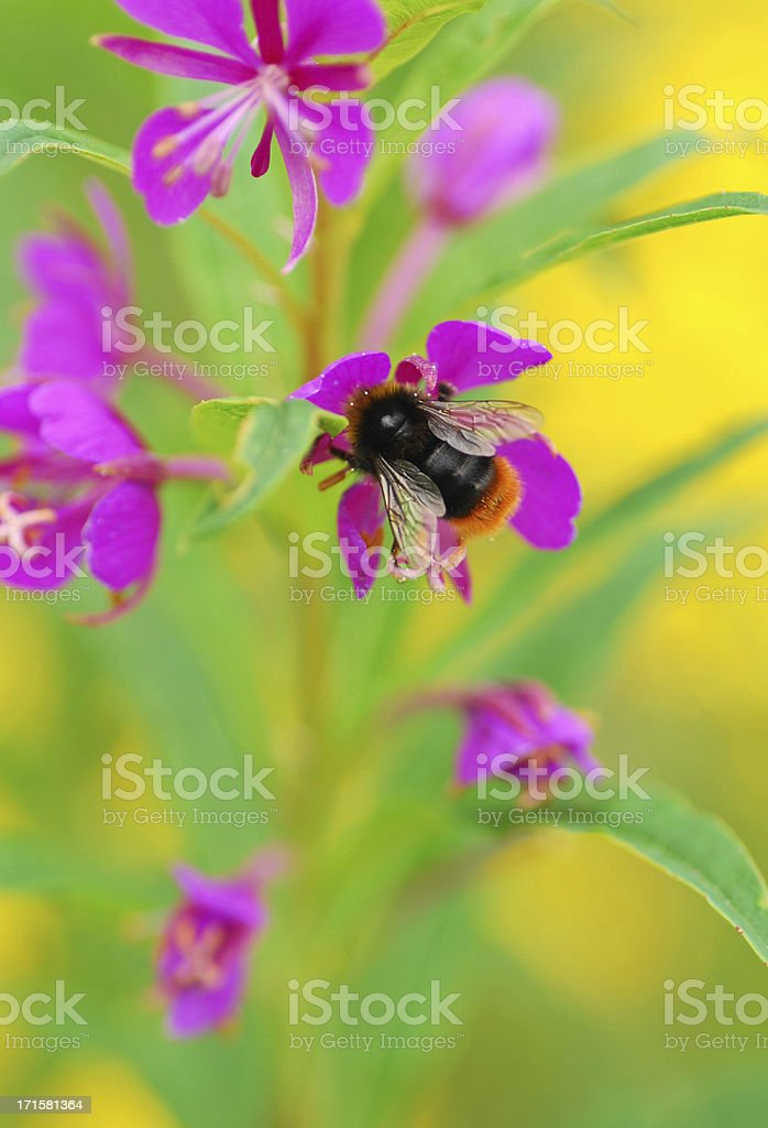 Red-tailed bumblebee on Willowherb. stock photo