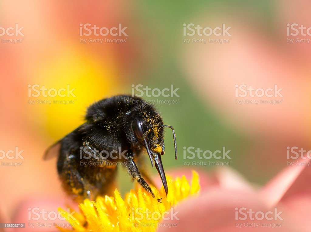 Red-tailed bumblebee stock photo