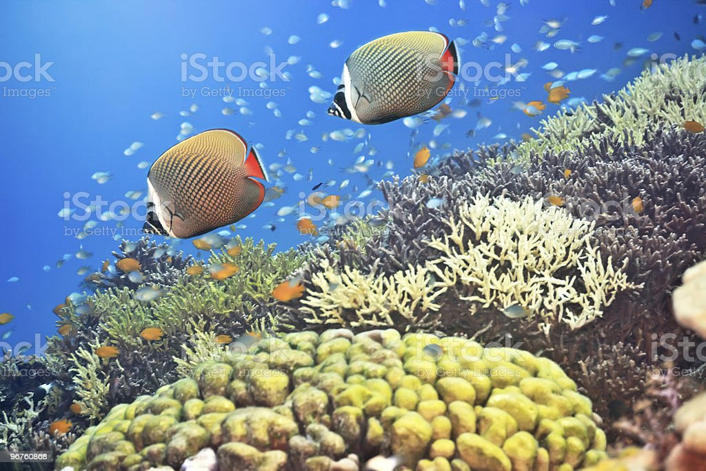 Red-tailed Butterflyfishes stock photo