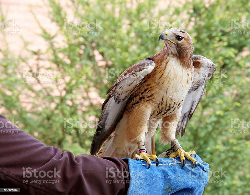 Red-tailed chickenhawk on gloved hand stock photo