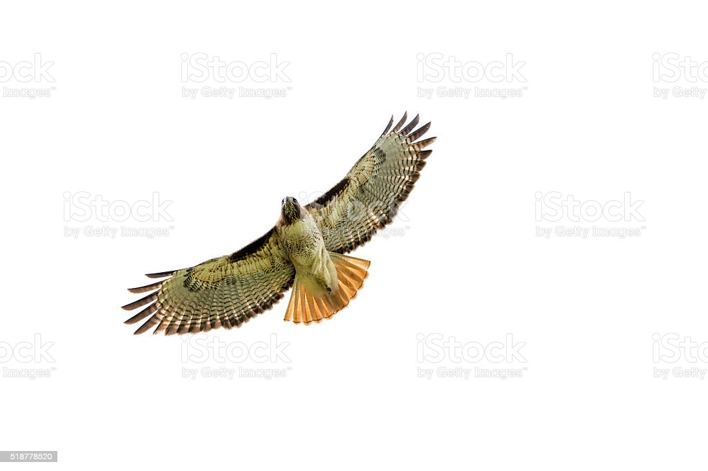 Red-tailed hawk at Central California stock photo