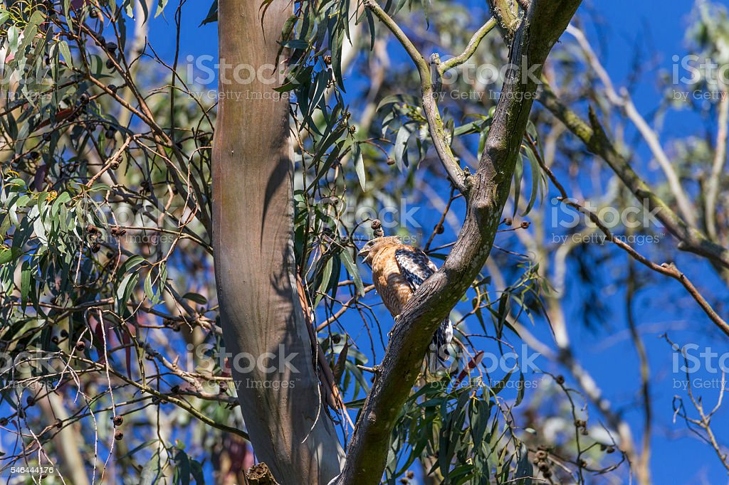Red-tailed hawk at Golden Gate Park of San Francisco, California stock photo
