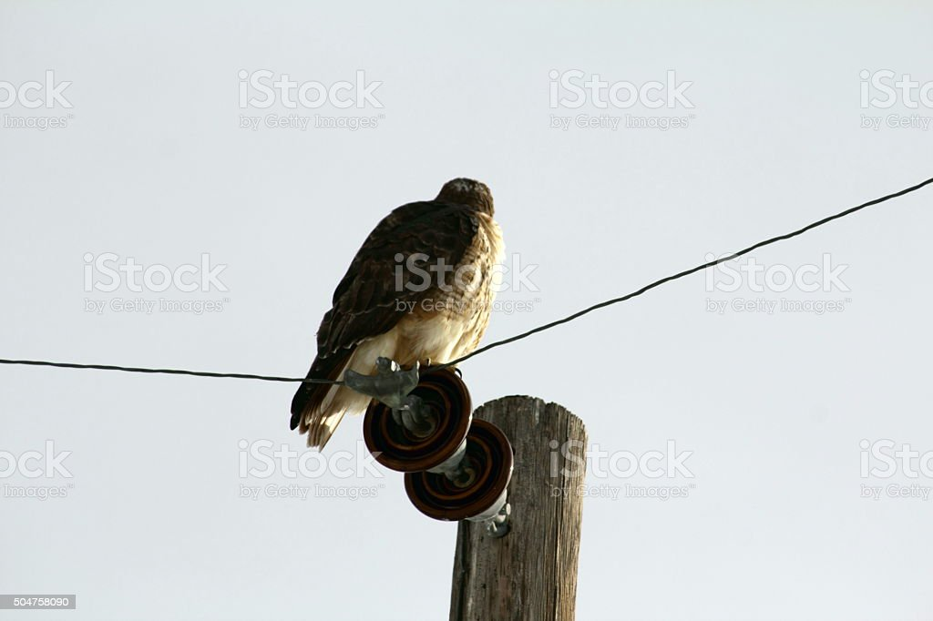 Redtailed hawk back of head to camera stock photo