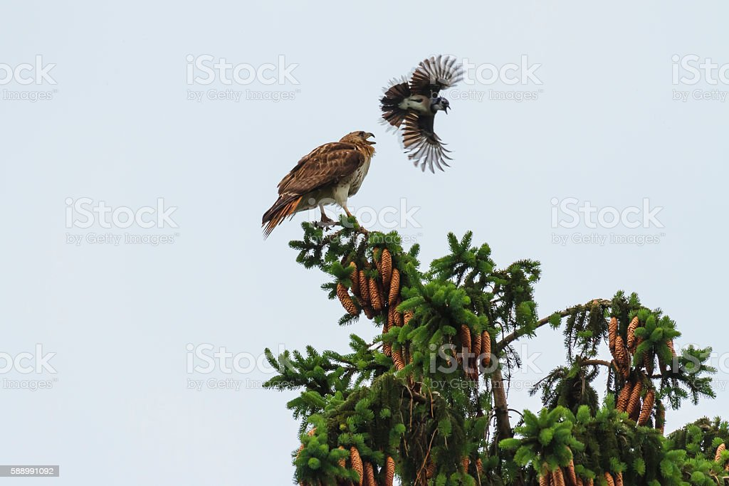 Red-tailed Hawk Being Attacked by a Blue Jay stock photo