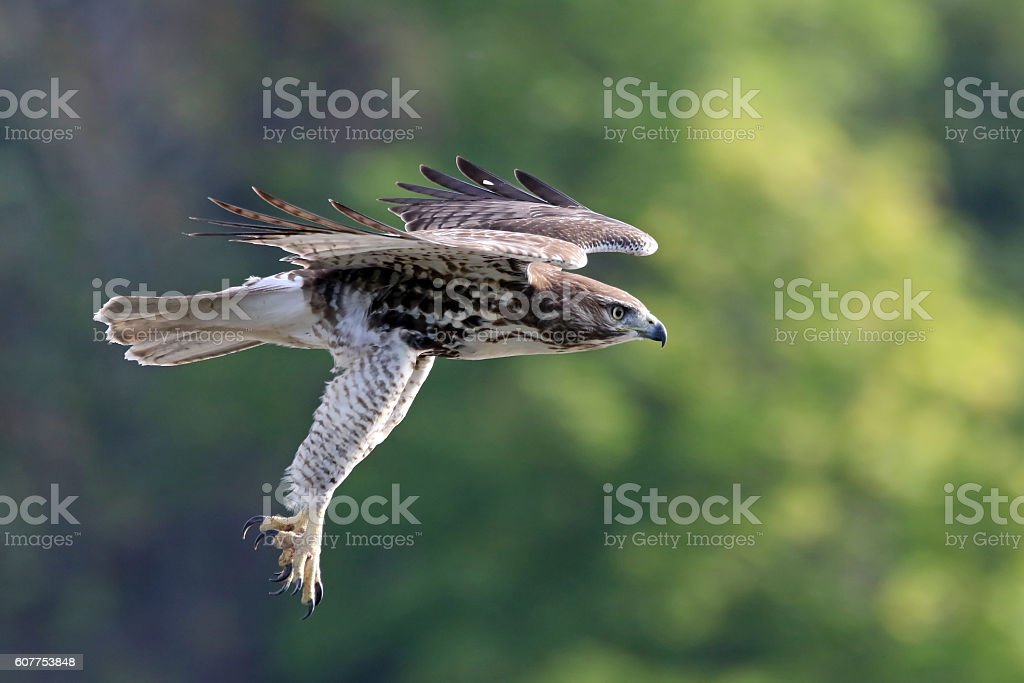 Red-tailed Hawk Dive stock photo