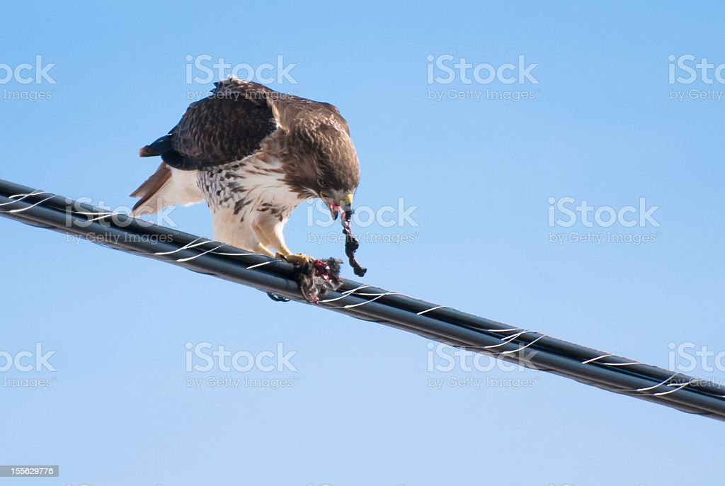 Red-Tailed Hawk Feeding on Catch royalty-free stock photo