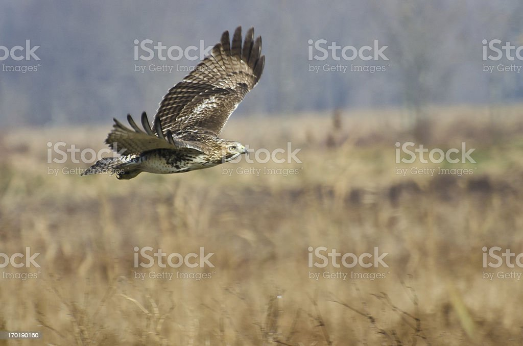 Red-Tailed Hawk Hunting Over Marsh royalty-free stock photo