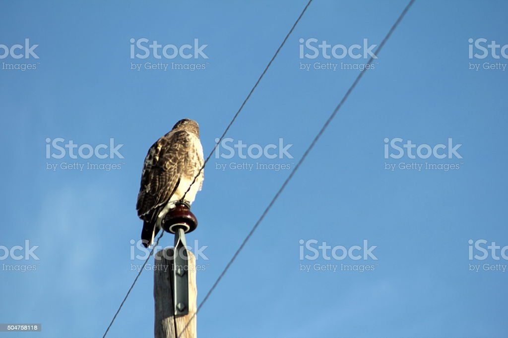 Redtailed hawk looking away from camera stock photo