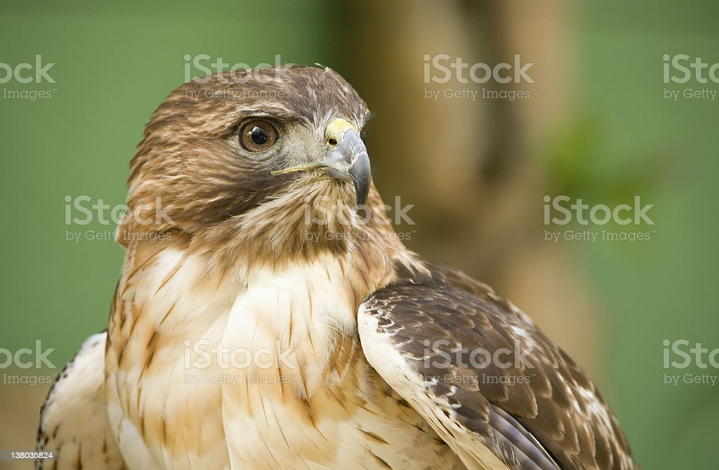 Red-Tailed Hawk royalty-free stock photo