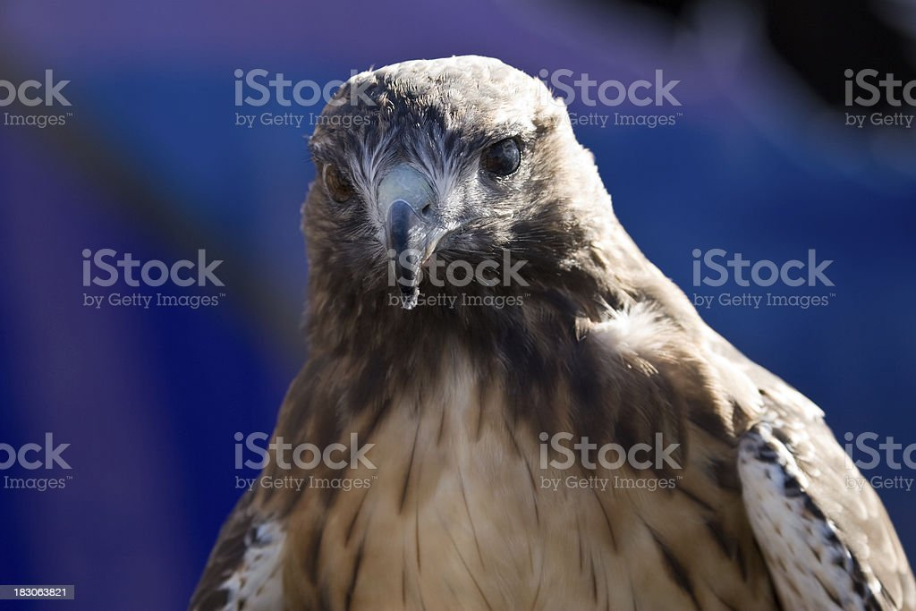 Red-tailed Hawk Portrait Close-up stock photo