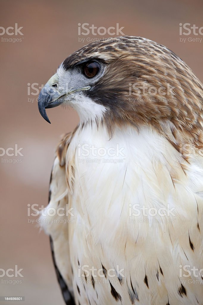 Red-Tailed Hawk Portrait royalty-free stock photo