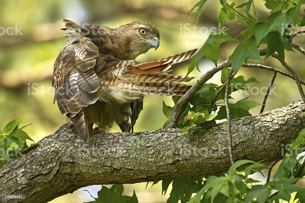 Red-tailed Hawk Preening royalty-free stock photo