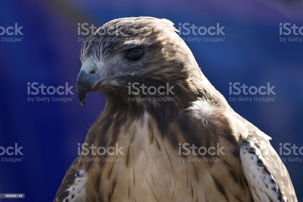 Red-tailed Hawk Profile Close-up stock photo