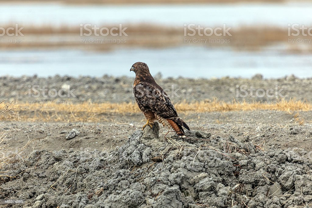 Red-tailed Hawk sitting on the ground stock photo