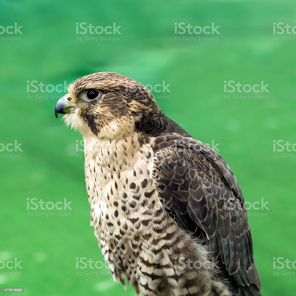 Red-tailed stock photo