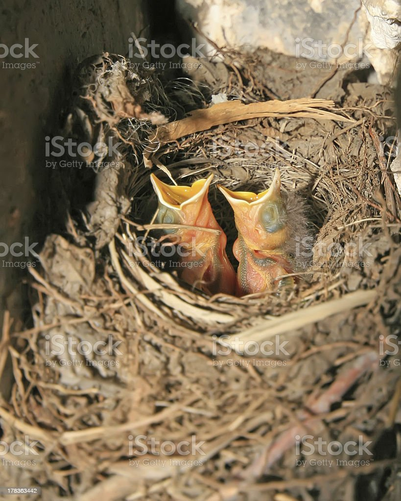 red-tailed robin nestling royalty-free stock photo