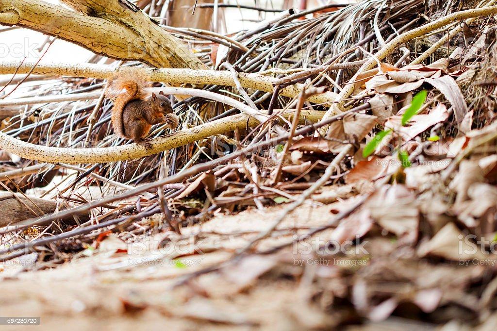 Red-tailed squirrel / Costa Rica / Cahuita stock photo