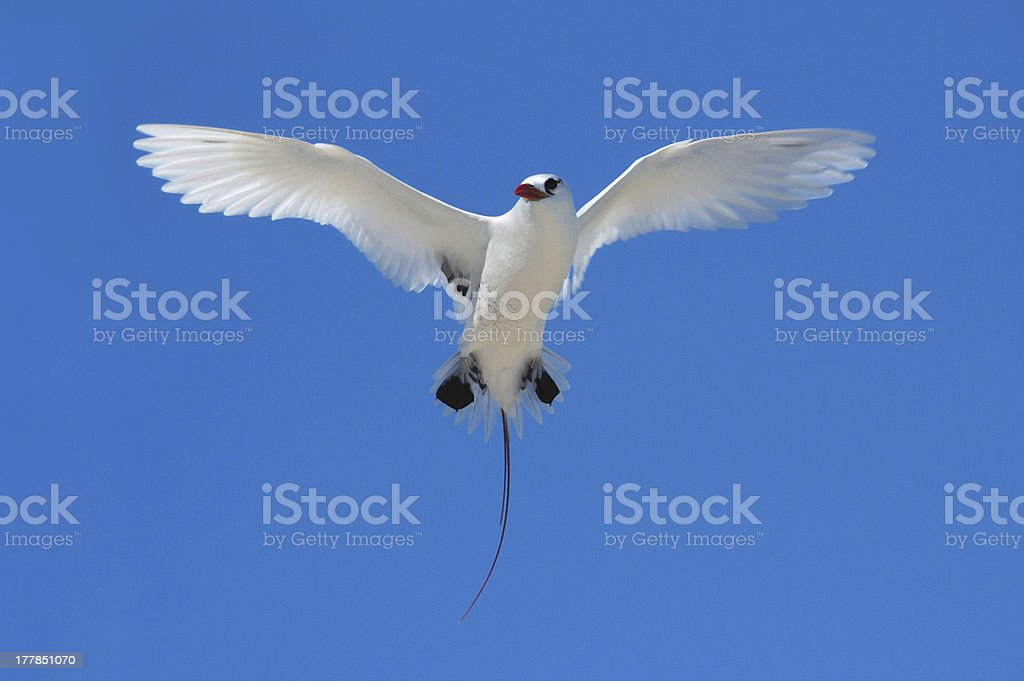 Red-tailed Tropicbird (Phaethon rubricauda) hovering royalty-free stock photo