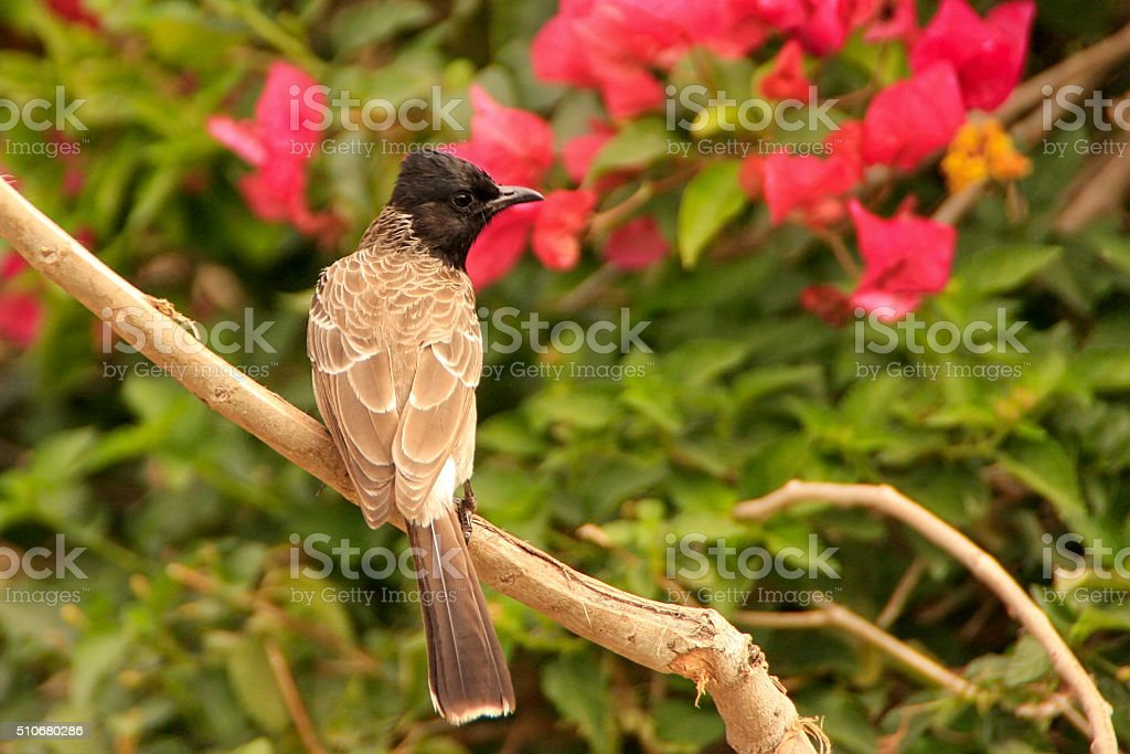 Red-vented Bulbul (Pycnonotus cafer) stock photo