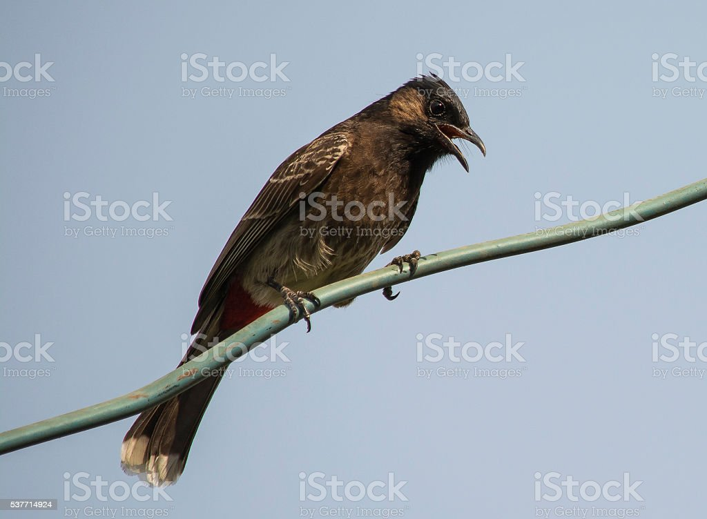 Red-Vented Bulbul stock photo