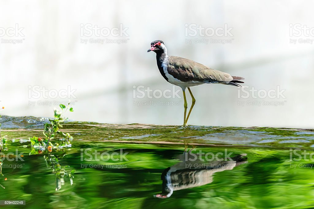 Red-wattled Lapwing bird sitting at the water edge stock photo