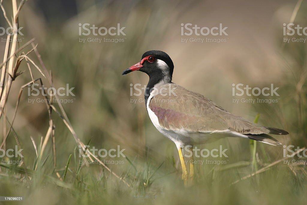 Red-wattled lapwing stock photo