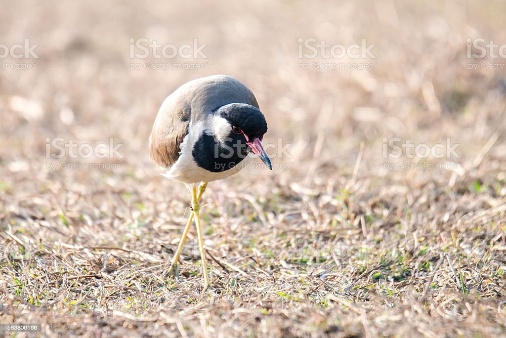 Red-wattled Lapwing stock photo