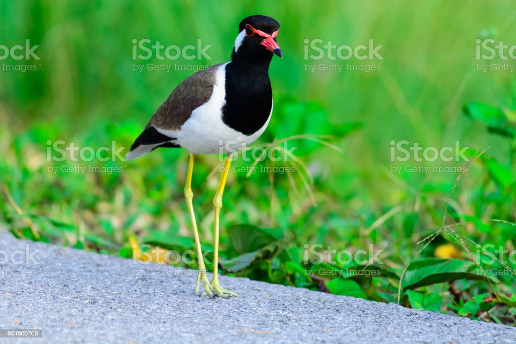 Red-wattled Lapwing Vanellus indicus. stock photo