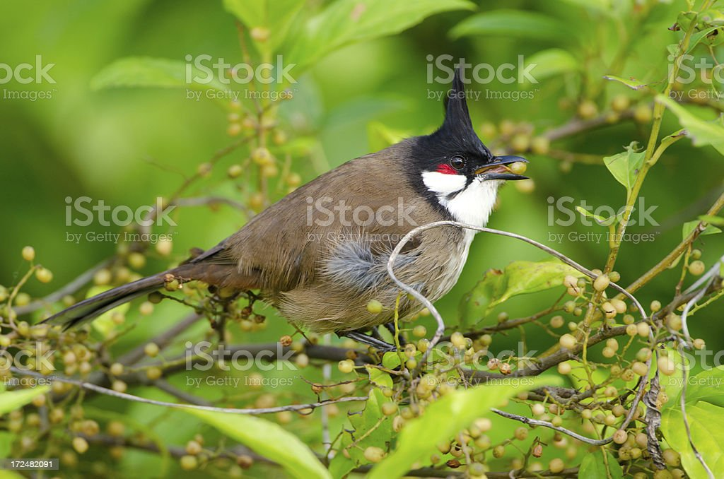 Red-whiskered Bulbul, Hong Kong stock photo