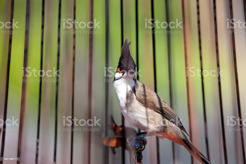 Red-whiskered Bulbul in a bird cage. stock photo