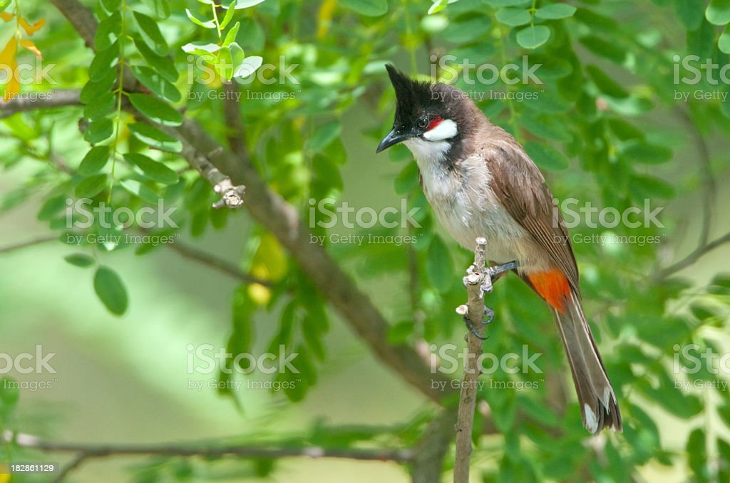 Red-whiskered Bulbul stock photo