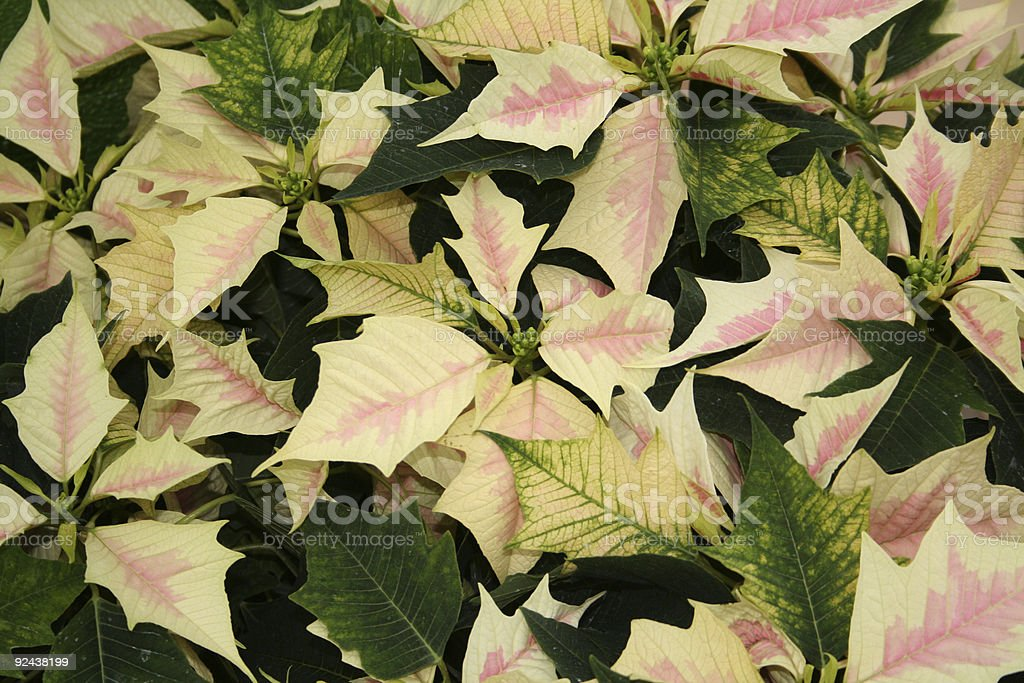 Red/white marbled poinsettia stock photo
