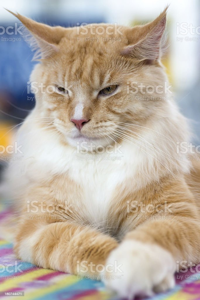 Red-white tabby Maine Coon cat stock photo