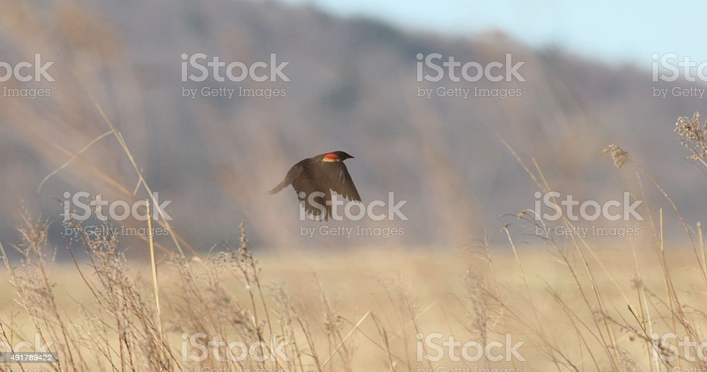 redwing and grass stock photo