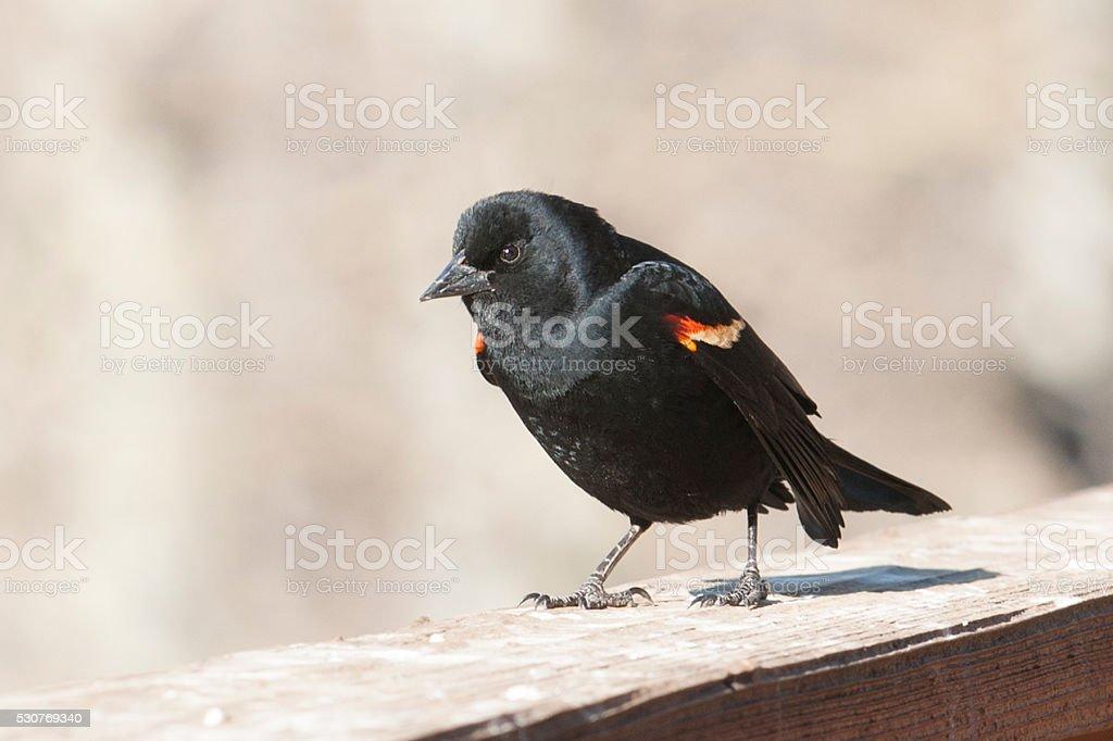 Redwing Blackbird stock photo