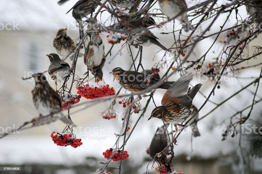 Redwing in Winter stock photo