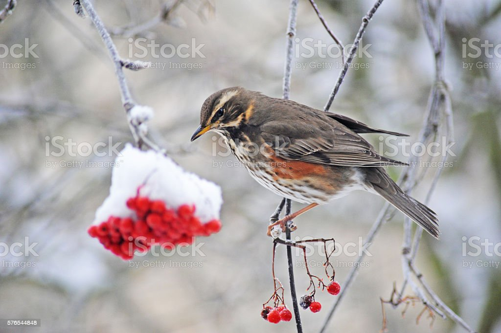 Redwing with berries and snow stock photo