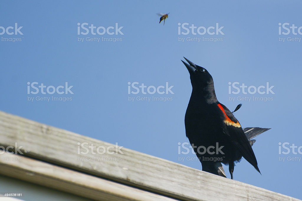 Red-Winged Blackbird About To Attack A Bee stock photo