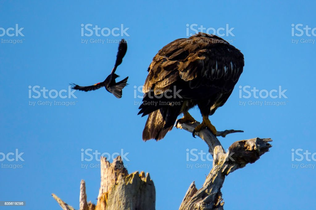 Red-winged blackbird attacks bald eagle stock photo