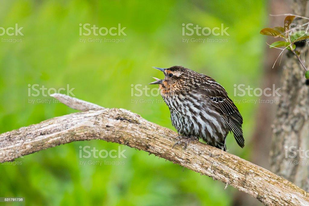 Red-winged Blackbird calling, female bird in spring, agelaius phoeniceus stock photo