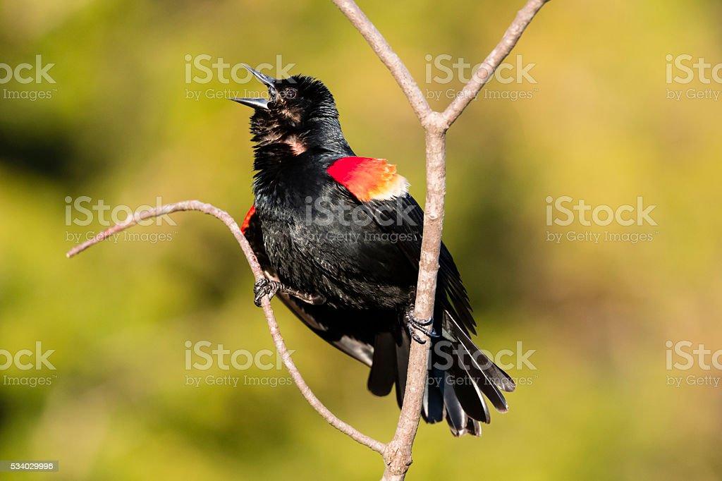 Red-winged Blackbird calling, male bird in spring, agelaius phoeniceus stock photo