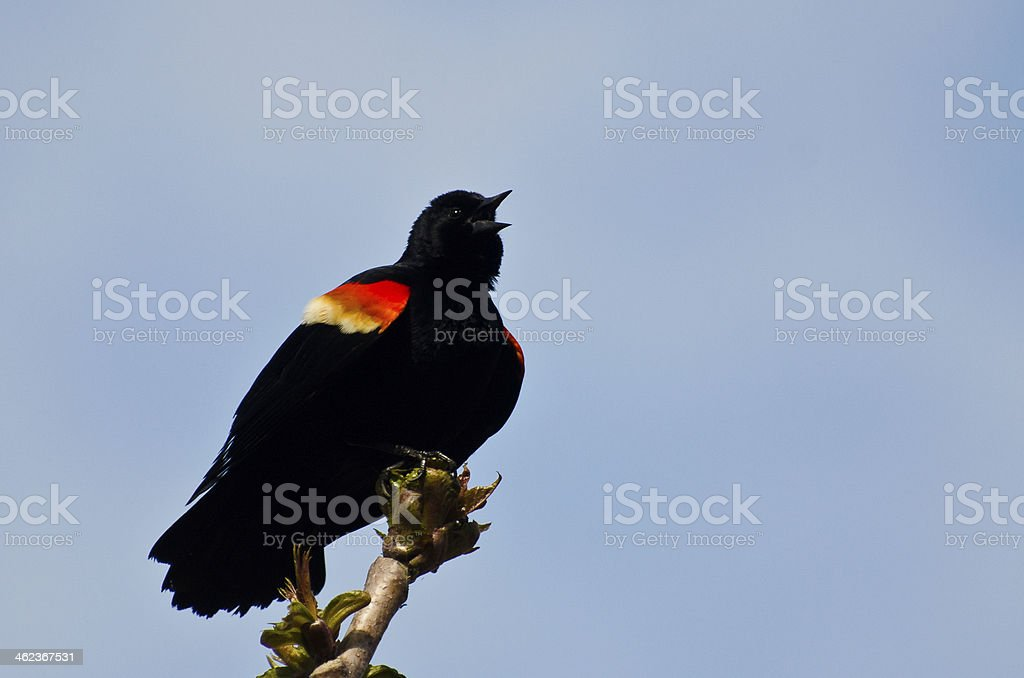 Red-Winged Blackbird Calling With a Trill stock photo