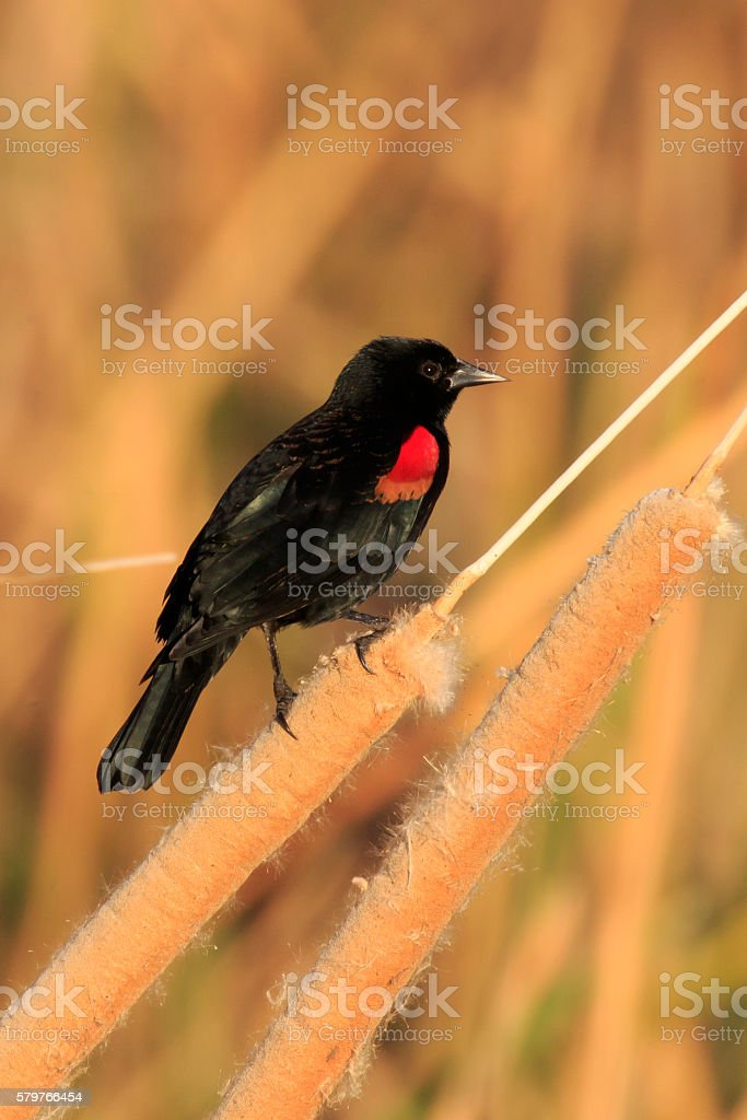 Red-winged Blackbird in Cattails stock photo