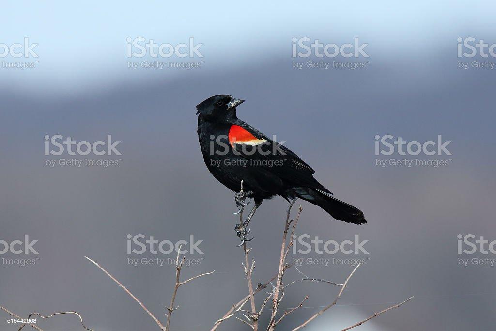 red-winged blackbird on branch stock photo