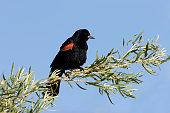 Red-winged blackbird on willow tree, Colorado