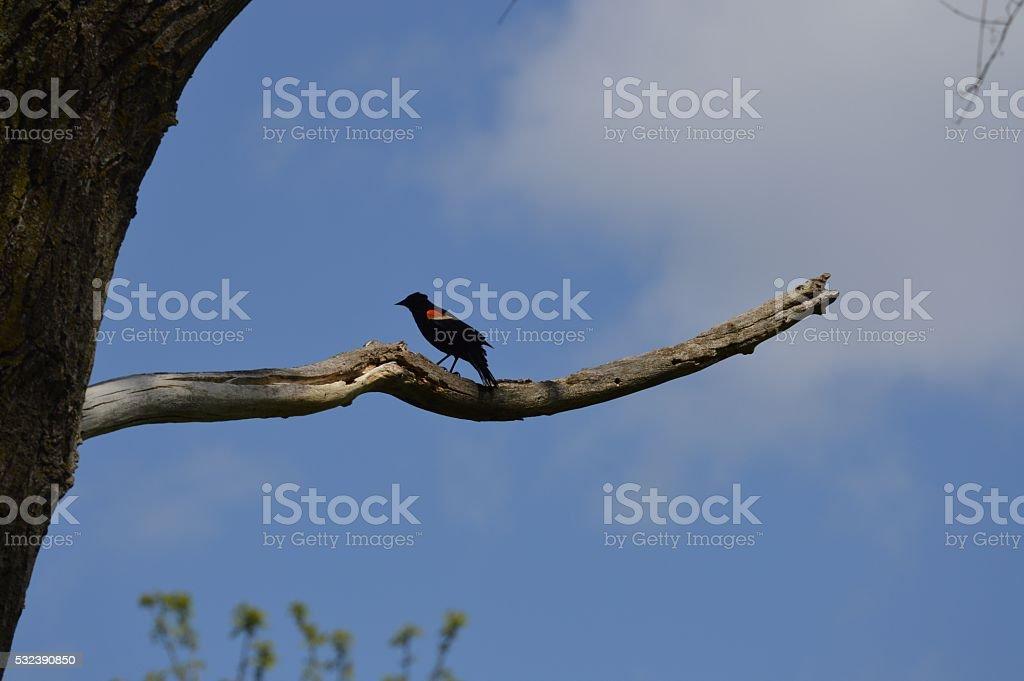 Red-Winged Blackbird stock photo